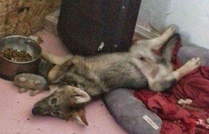 Когда щенок, которого приютили, вырос, то оказался совсем не собакой…