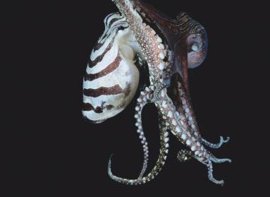 Клюв к клюву: некоторые осьминоги умеют целоваться