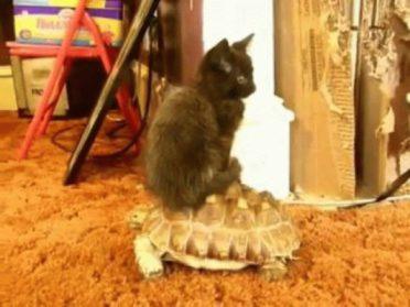 Наглый кот решил использовать черепаху…