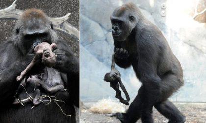 Детеныш гориллы умер… Что сделала мать? Это заставило меня плакать…